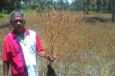 Harga Jeblok, Petani Ini Matikan 1,5 Hektar Pohon Cabainya dengan Racun Gulma