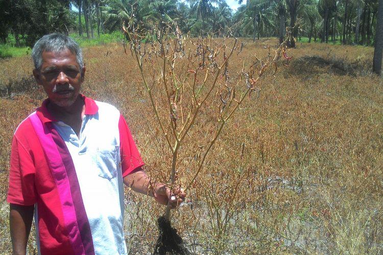 Seorang petani di Desa Bugel, Kulon Progo, Sukarman menunjukkan ladang cabai keriting seluas 1,5 hektar yang sudah menjadi coklat akibat disemprot penghancur gulma. Sukarman beralasan, petani rugi karena harga cabai jeblok. Mereka mempertimbangkan untuk mengganti dengan tanaman lain.