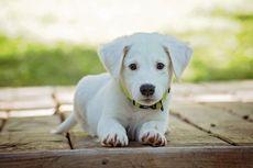 Amazon Rekrut Ribuan Ekor Anjing Jadi