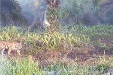Antisipasi Serangan Harimau yang Tewaskan Warga, Indonesia Bisa Tiru Cara India