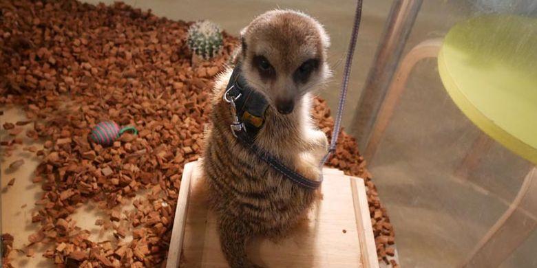 Meerkat, binatang mamalia favorit pengunjung di Moff animal cafe cabang Aeon Mall Makuhari Shintoshin di Prefektur Chiba, Jepang.