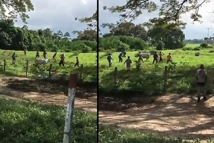 Potongan rekaman video menunjukkan sekelompok orang mengelilingi sapi. Aksi itu terjadi di Venezuela yang sedang dilanda krisis pangan.