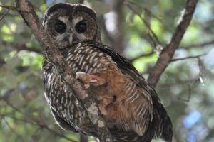 Bagaimana Bisa Ladang Ganja Mengancam Populasi Burung Hantu Langka?