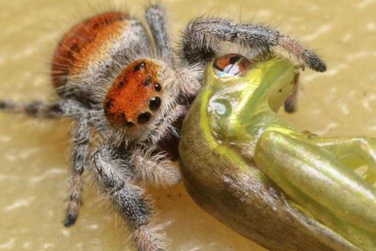 Laba-laba memangsa kadal yang besarnya tiga kali lipat dibanding tubuhnya.