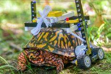 Terluka Parah, Kura-kura Ini Dibuatkan Kursi Roda