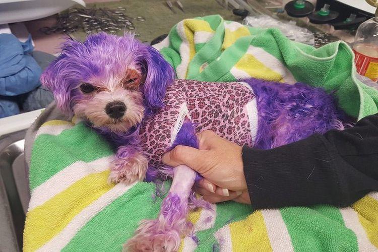 Violet, anjing piaraan di Florida, mengalami luka bakar setelah dicat dengan pewarna rambut manusia.