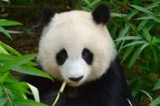 Ada-ada Saja, China Bikin Aplikasi Pengenalan Wajah Khusus Panda