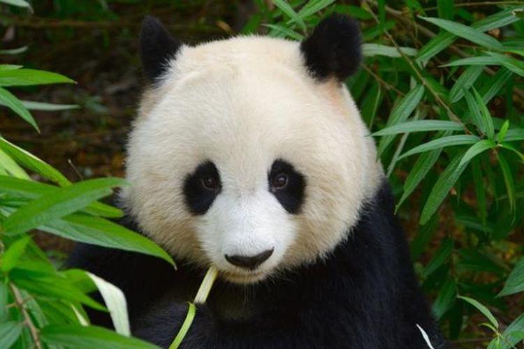 40+ Hewan panda lucu terbaru