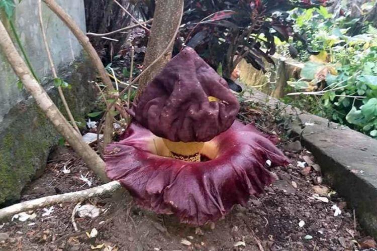 Bunga Bangkai (Amorphophallus) yang tumbuh di RT 08 RW 04 Lingkungan Takoa, Kelurahan Toloa, Kecamatan Tidore Selatan, Kota Tidore, Provinsi Maluku Utara, Minggu (10/02/2019)