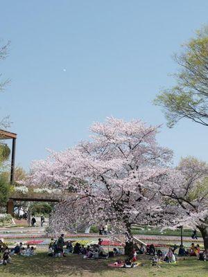 Pohon Sakura besar di atas bukit merupakan spot tujuan utama. Di sini pengunjung bisa melakukan aktifitas jalan-jalan musim semi sambil melihat binatang