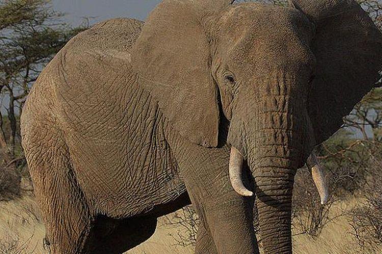 Seekor gajah Afrika