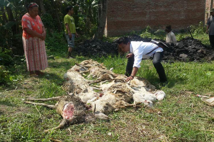 17 ekor kambing kibas mati di Desa Tegalgondo, Kecamatan Karangploso, Kabupaten Malang, Rabu (13/9/2017)