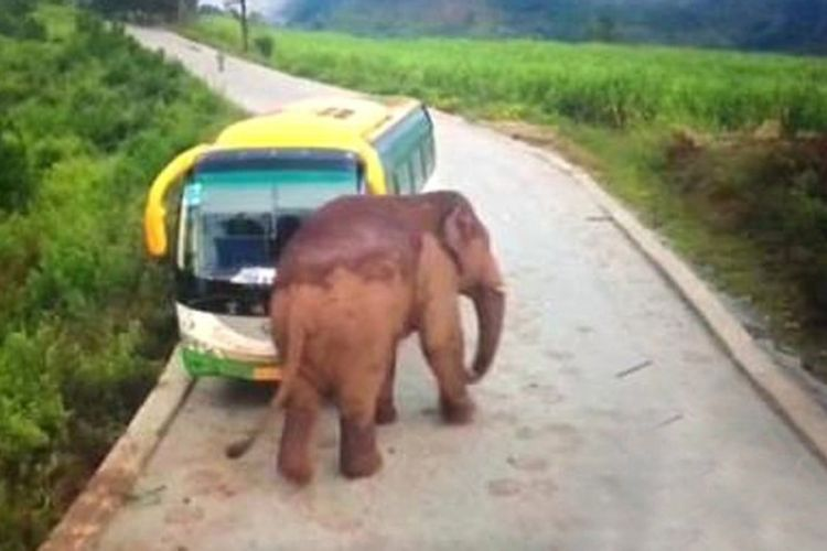 Seekor gajah di China menyerang bus wisata yang dikemudikan seorang pengemudi, Sabtu (9/12/2017), dekat kawasan lindung untuk gajah liar di Xishuangbanna, provinsi Yunnan. Tak ada penumpang di dalamnya, dan pengemudi bus tidak mengalami luka dalam insiden itu. (SCMP)
