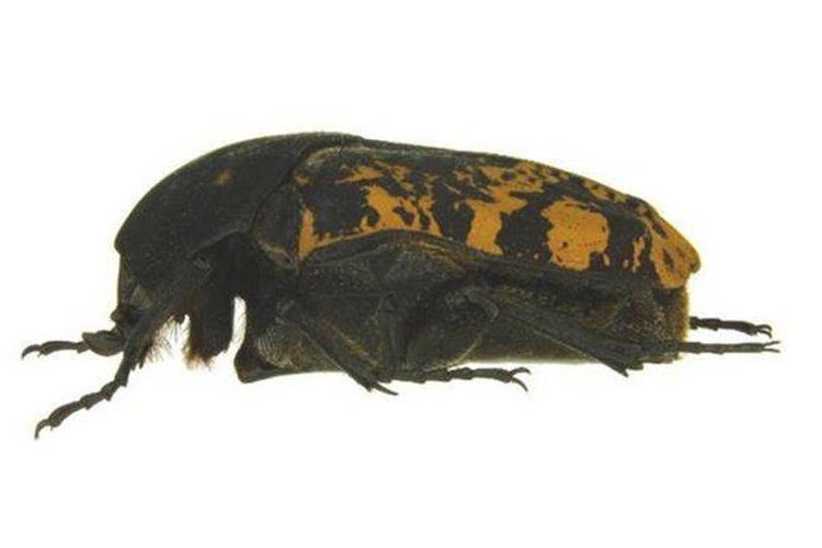 Gymnetis rhaegali, satu dari tiga spesies baru kumbang scarab yang ditemukan oleh ahli entomologi UNL, Brett Ratcliffe, dinamai menurut nama naga Game of Thrones, Rhaegal.