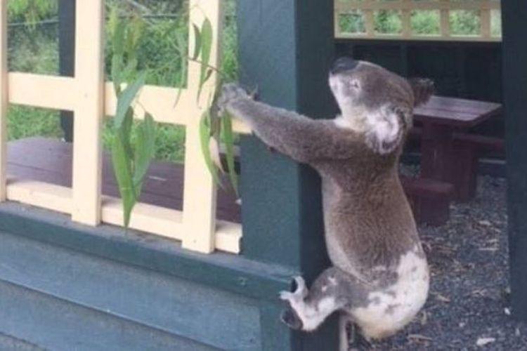 Koala ini ditemukan mati dan dipaku ke tiang kayu di sebuah lokasi wisata di sebelah utara kota Brisbane.