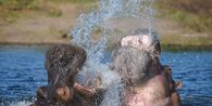 Buasnya Kuda Nil, Gigitannya Sudah Banyak Membunuh Manusia