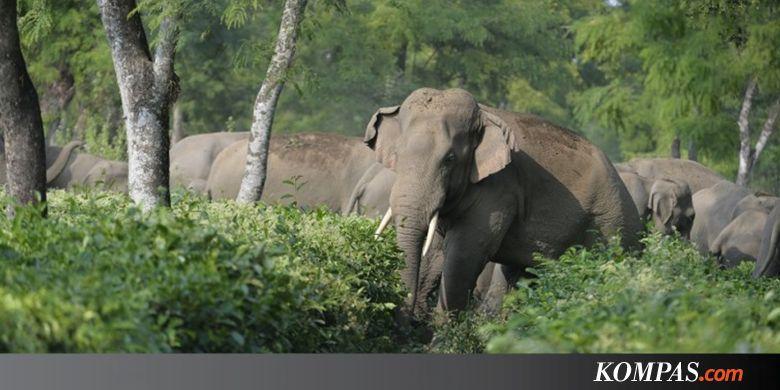 Benarkah Tunggangi Gajah Bisa Bikin Cedera? Ini Kata Ahli Anatomi