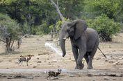 Diganggu Saat Sedang Minum, Gajah Semprotkan Air ke Anjing Liar