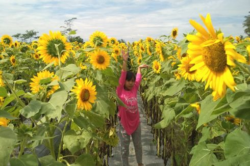 Taman Dewari, Spot Selfie dengan Hamparan Bunga Matahari nan Cantik