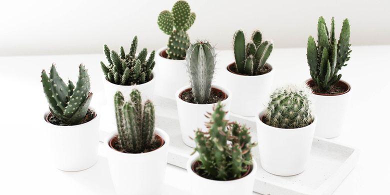 Ingin Letakkan Kaktus di Dalam Rumah? Begini Cara Merawatnya!