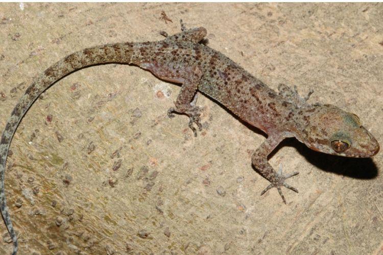 Cicak jari lengkung atau Cyrtodactylus tanahjampea