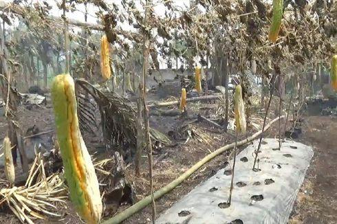 Karhutla Buat Petani di Kalbar Gagal Panen hingga Rugi Ratusan Juta