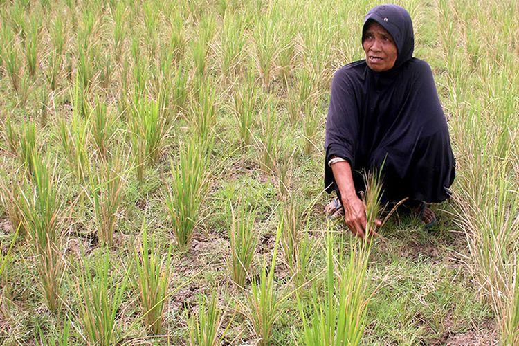 150 hektare tanaman padi warga Desa Lamsi, Kecamatan Cot Gle, kabupaten Aceh Besar mengering akibat kekeringan, sehingga warga pedalaman Aceh Besar ini yang manyoritasnya petani ini terancam gagal panen. Selasa (20/02/18).