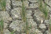 Terkena Angin Kencang, Ratusan Hektare Padi di Sikka Terancam Gagal Panen