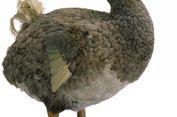 Menginspirasi 'Alice in Wonderland', Burung Dodo Simpan Kisah Tragis