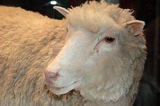 Hari Ini dalam Sejarah: Keberadaan Domba Hasil Kloning Diumumkan