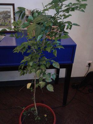 Kemuning Murraya cyclopensis
