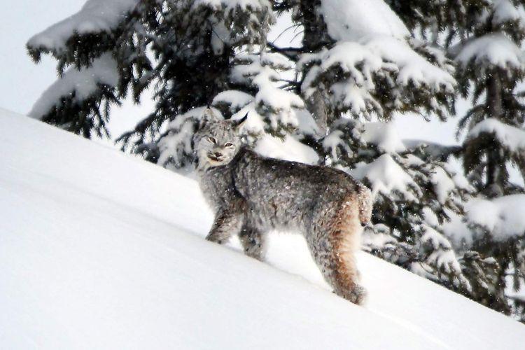 lynx Kanada yang akan dicabut perlindungannya