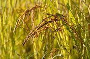 Nasi, Pangan Pokok Nusantara yang Dibudidayakan Petani China