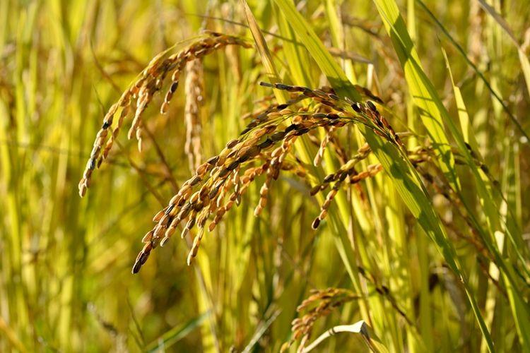 Ilustrasi tanaman padi di ladang.