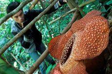 Catat! Ini 6 Tempat untuk Melihat Bunga Rafflesia Arnoldii