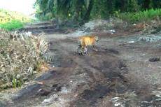 Warga Lubuk Dingin Sumsel Heboh, 5 Ekor Harimau Masuk Kebun Durian