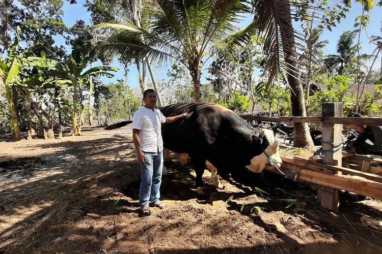 Sapi Simental Bantuan Presiden Joko Widodo di Dusun Watu Gilang B, Mulusan, Gunungkidul, Yogyakarta Jumat (9/8/2019)