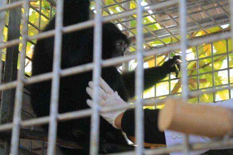 Seorang dokter hewan sedang memberi makan seekor Siamang, hasil sitaan BKSDA dari seorang warga di Banda Aceh. Siamang adalah binatang yang dilindungi undang-undang dan tak boleh menjadi binatang peliharaan.