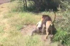 Periksa Kandang, Pemilik Taman Margasatwa Diserang Singa