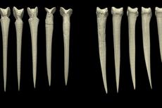 Orang Papua Niugini Bikin Belati dari Tulang Manusia, Mengapa?