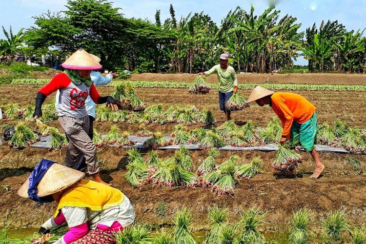 Kementan memasang target ekspor bawang merah tahun ini sebanyak 15 ribu ton atau naik dua kali lipat dibandingkan 2017