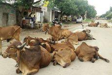 Pemerintah New Delhi Ingin Satukan Orang Jompo dan Sapi Terlantar dalam Rumah Khusus