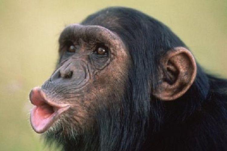Simpanse.