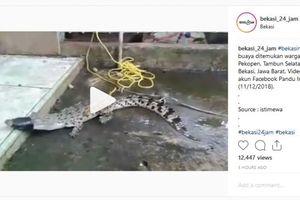 Seekor Anak Buaya Ditemukan Warga Tambun Selatan di Empang