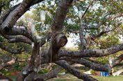 Pohon Beringin 700 Tahun di India Diinfus, Untuk Apa?