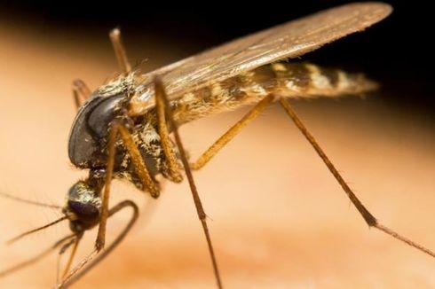 Jamur Pembasmi Nyamuk Malaria Diuji di Burkina Faso, Afrika Barat