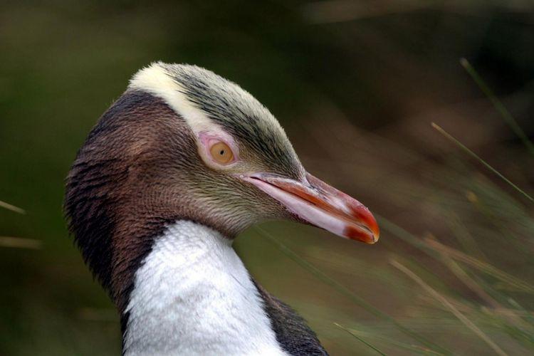 Penguin Mata Kuning