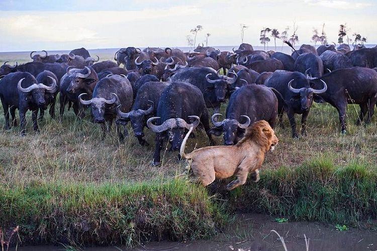 Diserbu Puluhan Kerbau, Seekor Singa Jantan Lari Tunggang Langgang