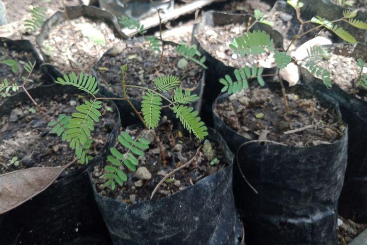 Bibit lamtoro, tanaman pelindung yang ditanam untuk melindungi tanaman kopi memiliki banyak manfaat. Selain menghasilkan kopi yang lebih baik juga bisa untuk pakan ternak.