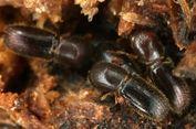 Kisah Ambrosia, Kumbang-Kumbang Unik yang Cinta Alkohol